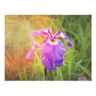 日光の紫色のアイリス ポストカード