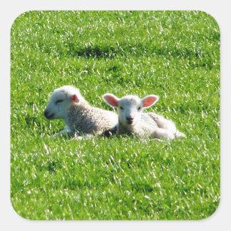 日光コーンウォールイギリスの春の子ヒツジ スクエアシール