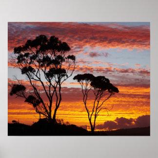 日没およびゴムの木、Binalong湾、火の湾、 ポスター