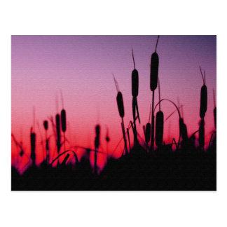 日没のネコヤナギ ポストカード