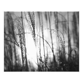 日没の高い草の白黒写真 フォトプリント