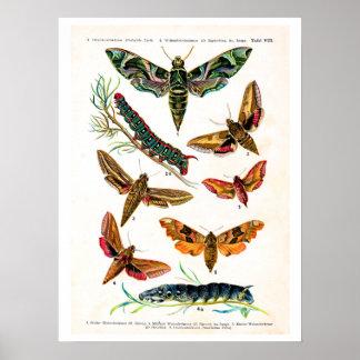 旧式なプレート、ヨーロッパの蝶: プレート8 ポスター