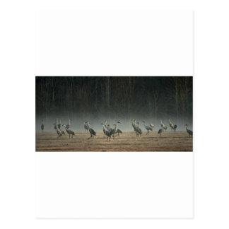 早朝の春の霧のSandhillクレーン ポストカード