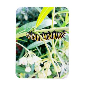 (昆虫)オオカバマダラ、モナークの幼虫を食べること マグネット