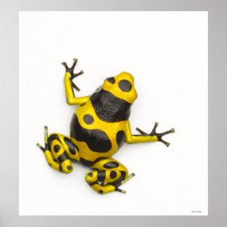 《昆虫》マルハナバチの毒投げ矢のカエル ポスター