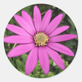 明るいピンクのアフリカデイジー 丸形シール・ステッカー