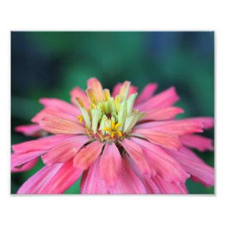 明るいピンクの《植物》百日草の花 フォトプリント