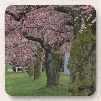 春のさくらんぼの活気付く木 コースター