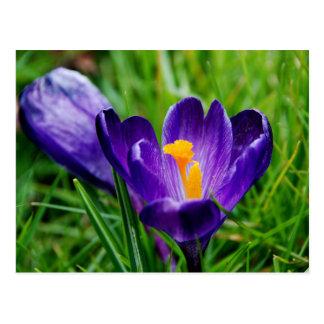 春のクロッカス ポストカード