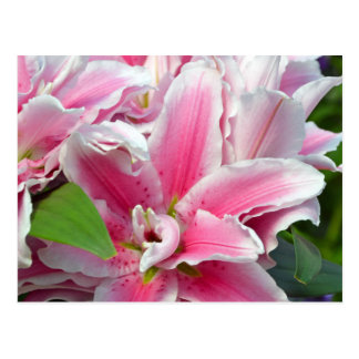春のピンクの占星家ユリの花 ポストカード