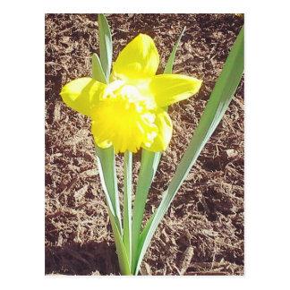 春のラッパスイセンの写真の郵便はがき ポストカード
