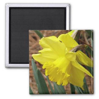 春のラッパスイセンの磁石 マグネット
