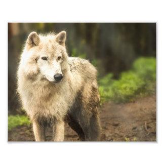 春の写真のぬれた北極オオカミ フォトプリント