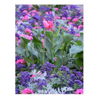 春の庭のピンクのオランダカイウユリ ポストカード