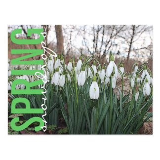 春の花、花の白いsnowdrops ポストカード