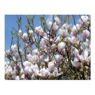 春の郵便はがきのマグノリアの開花 ポストカード