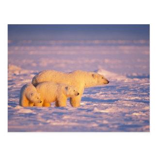 春を持つ白くまの雌豚は凍結するのでcubs ポストカード