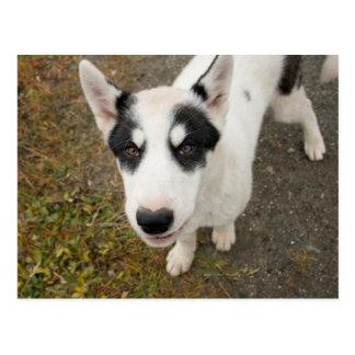 有名なGreenlandicそり犬、白黒子犬 ポストカード
