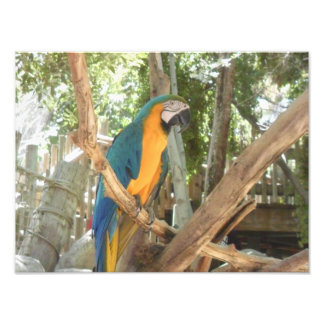 木の青および黄色のコンゴウインコ フォトプリント
