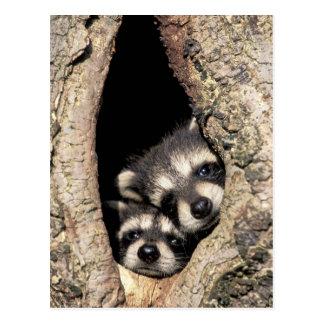 木キャビティプロキオンのベビーのアライグマ ポストカード