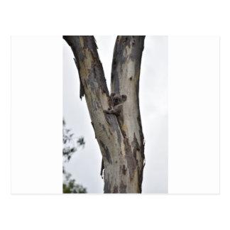 木クイーンズランドオーストラリアのコアラ ポストカード