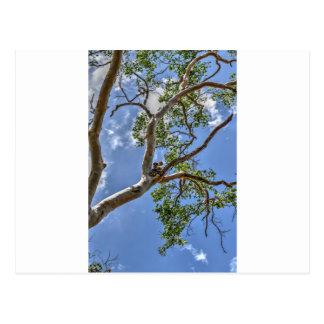 木田園クイーンズランドオーストラリアのコアラ ポストカード