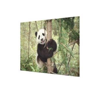 木、Wolong、四川で遊んでいるパンダの幼いこども キャンバスプリント