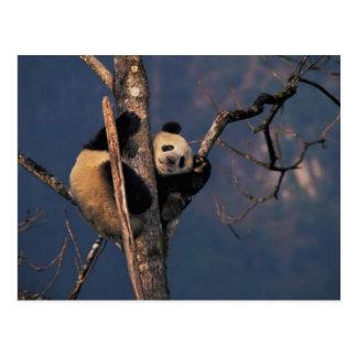 木、Wolong、四川で遊んでいるベビーのパンダ ポストカード