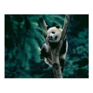 木、Wolong、四川の中国のパンダの幼いこども ポストカード