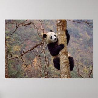 木、Wolong、四川の中国のパンダ ポスター