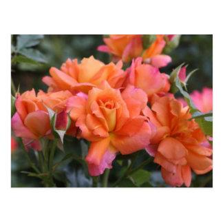 杏子のバラ ポストカード