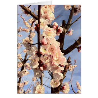 杏子の花 カード