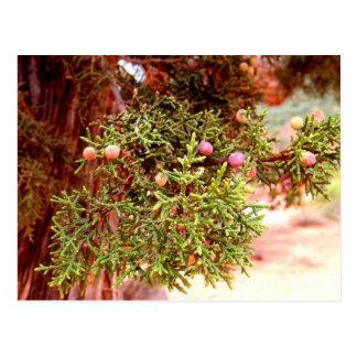 杜松の木 ポストカード