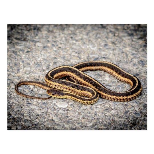 東のリボンヘビ(ガーター・ヘビ) ポストカード