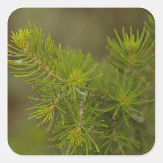 松の木のステッカー スクエアシール