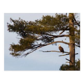 松の木の白頭鷲 ポストカード