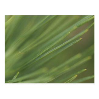松の木の針 ポストカード