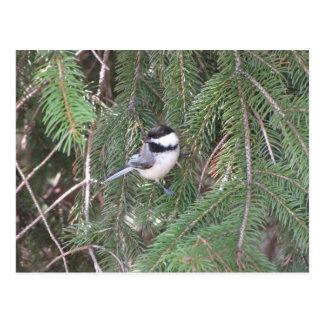 松の木の《鳥》アメリカゴガラ ポストカード