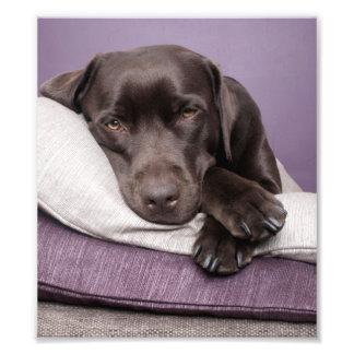 枕で眠いチョコレートラブラドル・レトリーバー犬犬 フォトプリント