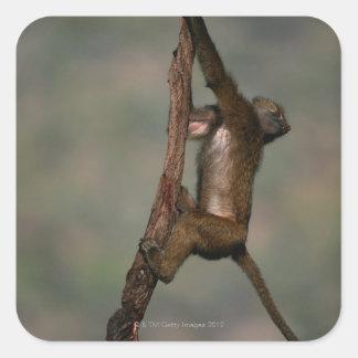 枝のオリーブ色のヒヒ(Papioのanubis)の登山、 スクエアシール