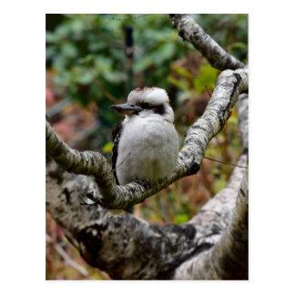 枝タスマニアオーストラリアのKOOKABURRA ポストカード