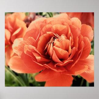 桃色のRanunculusの花ポスター ポスター