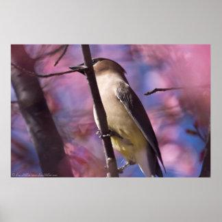 桜ポスターでワックスを掛けているヒマラヤスギ プリント