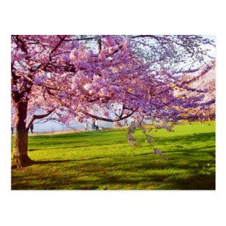 桜 ポストカード