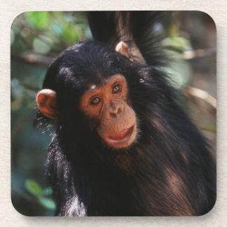 森林でつるしている若いチンパンジー コースター