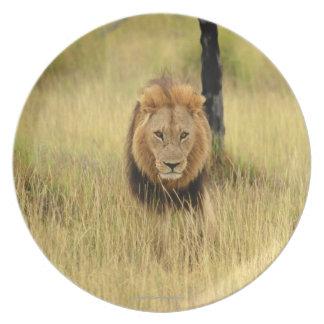 森林のライオン(ヒョウ属レオ)の歩く、 プレート