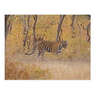 森林の王室のなベンガルトラ、Ranthambhor ポストカード