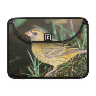森林カナリア(Serinus Scotops)のクローズアップ MacBook Proスリーブ