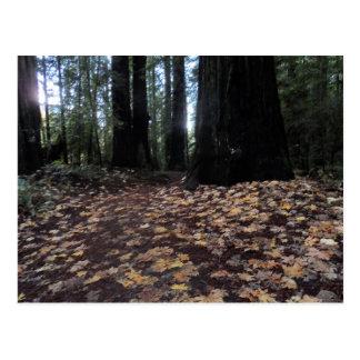 森林フンボルトのレッドウッドの紅葉 ポストカード