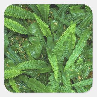 森林床、Quinaultの熱帯雨林、オリンピックNP、 正方形シールステッカー